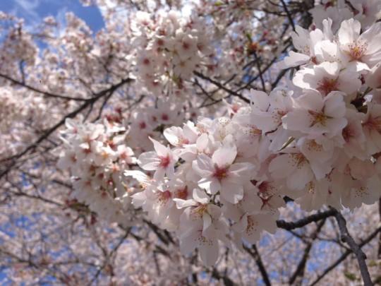 ふなばしアンデルセン公園でお花見