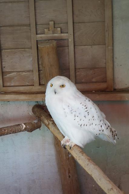 フクロウ白色(市川市動植物園)
