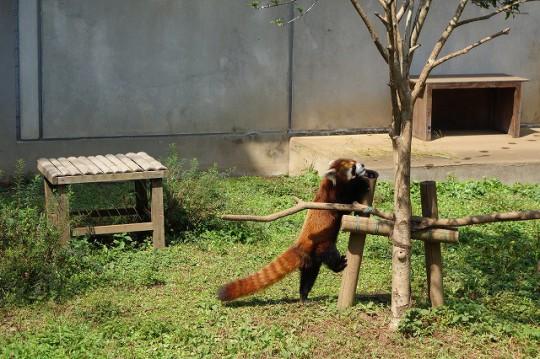 レッサーパンダ(市川市動植物園)