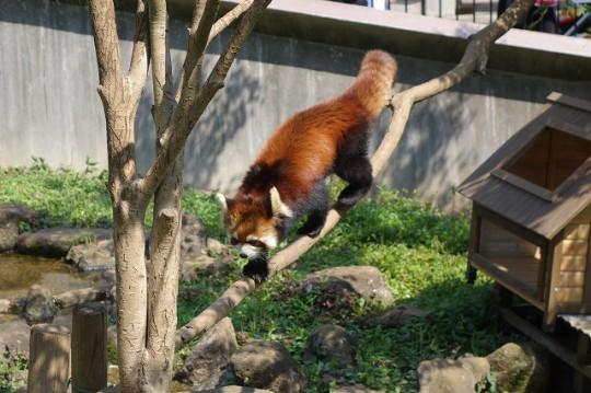 また木登りするレッサーパンダ