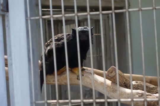 ピグミーマーモセット(市川市動植物園)